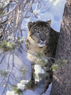 Snow Leopard Sitting under Tree by DLILLC
