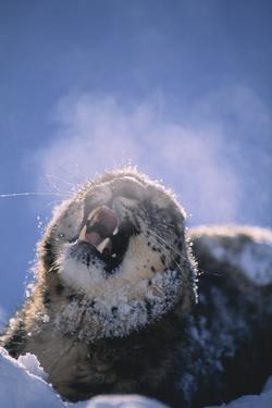 Snow Leopard Snarling by DLILLC