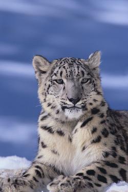 Snow Leopard by DLILLC
