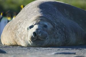 Southern Elephant Seal Relaxing in the Sand by DLILLC