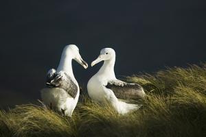 Southern Royal Albatross by DLILLC