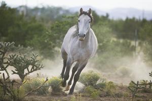 Spanish Mustang Running by DLILLC