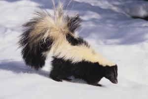 Striped Skunk in the Snow by DLILLC