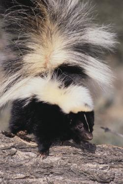 Striped Skunk by DLILLC