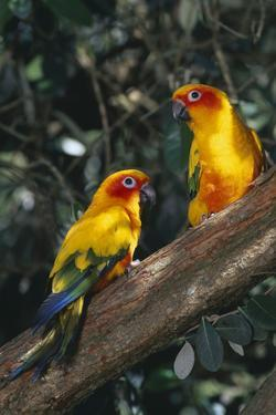 Sun Parakeets on Branch by DLILLC
