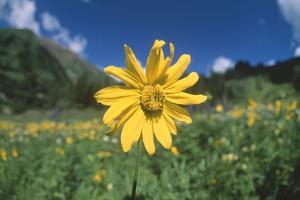 Sunflower in Field by DLILLC