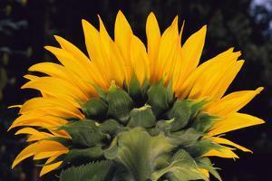 Sunflower by DLILLC
