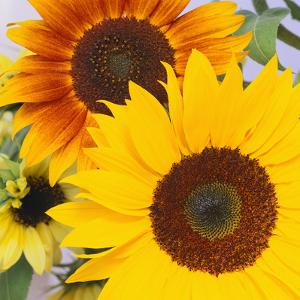 Sunflowers by DLILLC