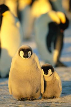 Sunlight on Sleeping Penguin Chicks by DLILLC