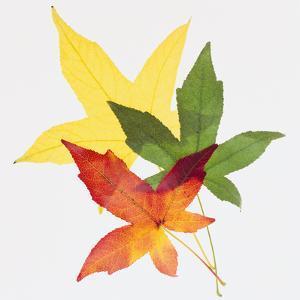 Sweet Gum Leaves by DLILLC