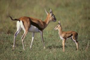 Thomson's Gazelle and Young by DLILLC