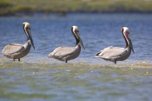 Three Brown Pelicans by DLILLC