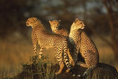 Three Cheetahs on Termite Mound by DLILLC