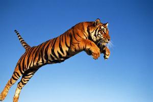 Tiger Leaping through Air by DLILLC