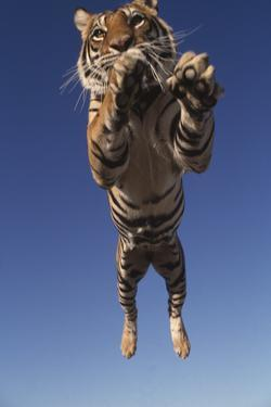 Tiger Leaping by DLILLC