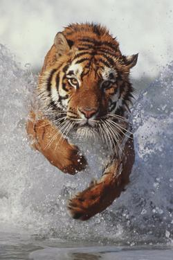 Tiger Running through Water by DLILLC