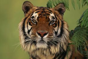 Tiger Sitting under Fern Leaves by DLILLC