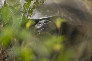 Tortoise Peering through the Leaves by DLILLC