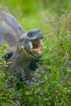 Tortoise with Open Mouth by DLILLC