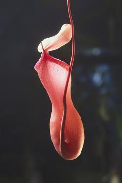 Tropical Pitcher Plant by DLILLC