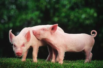 Two Affectionate Piglets