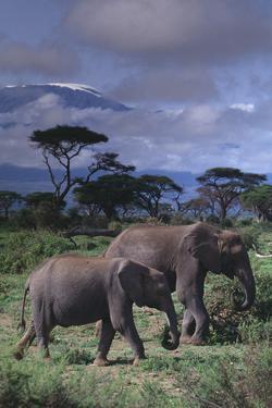 Two Elephants by DLILLC