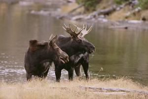 Two Moose at Riverbank by DLILLC