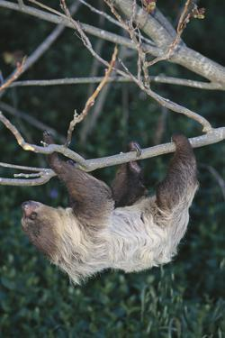 Two-Toed Tree Sloth Hanging from Tree by DLILLC
