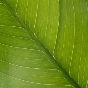 Vein Pattern on a Peace Lily Leaf by DLILLC