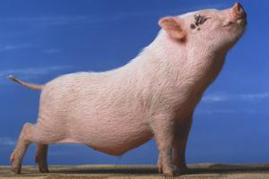 Vietnamese Pot-Bellied Pig Stretching by DLILLC