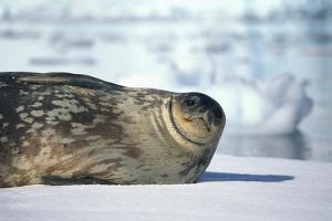 Weddell Seal Lying on Ice by DLILLC
