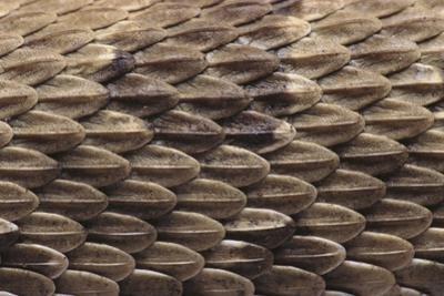 Western Diamondback Rattlesnake Skin by DLILLC