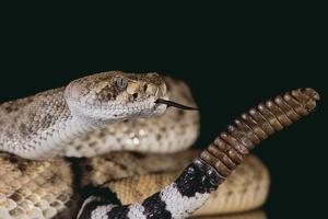Western Diamondback Rattlesnake by DLILLC