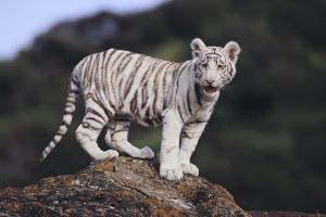 White Bengal Tiger Cub on Rocks by DLILLC