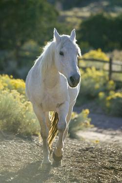 White Horse Walking on Trail by DLILLC