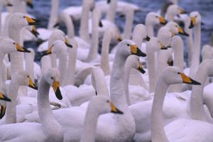 Whooper Swans by DLILLC