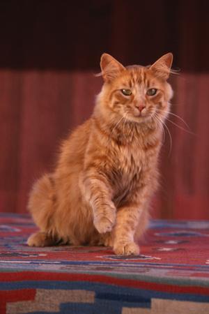Yellow Cat Sitting on Rug by DLILLC