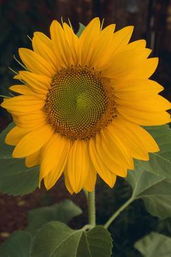 Yellow Sunflower by DLILLC