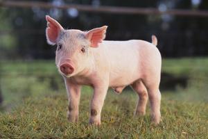 Yorkshire Pig on Grass by DLILLC