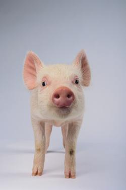 Yorkshire Pig by DLILLC