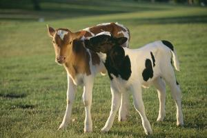 Young Calves in Pasture by DLILLC