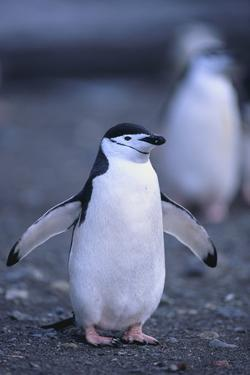 Young Chinstrap Penguin by DLILLC