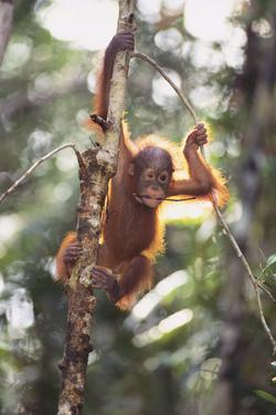 Young Orangutan in the Trees by DLILLC