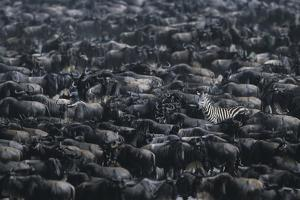 Zebra among Wildebeest Herd by DLILLC