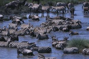 Zebras and Wildebeest at Water Hole by DLILLC
