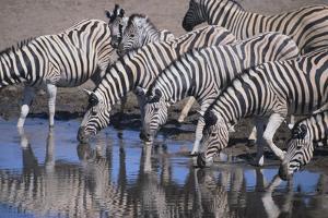 Zebras Drinking at Pond by DLILLC