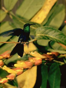 Hummingbird on a Branch in Amazonia by Dmitri Kessel