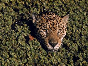 Jaguar Poking Its Head Through Plant Clogged Pool, Brazil by Dmitri Kessel