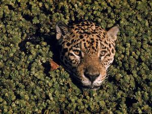 Jaguar Poking Its Head Through Plant Clogged Pool, Brazil by Dmitri Kessel