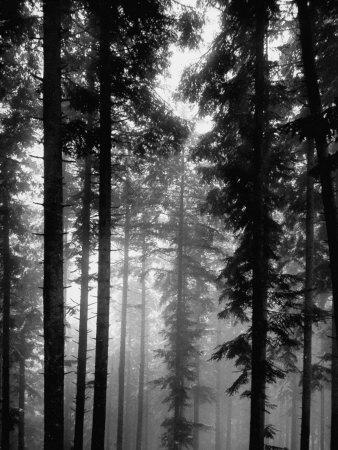 Trees in the Black Forest